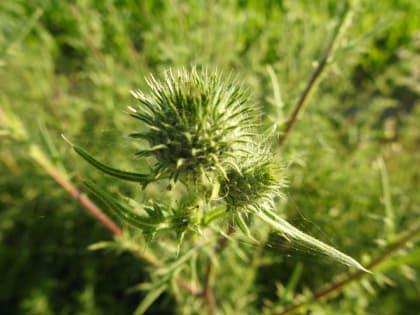 Cirsium vulgare - Asteraceae