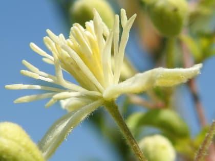 Clematis vitalba - Ranunculaceae