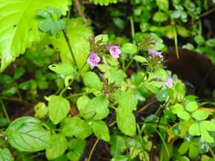 Clinopodium vulgare - Lamiaceae