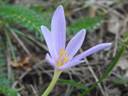 Colchicum alpinum - Colchicaceae