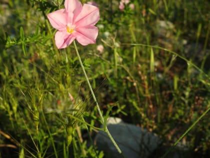 Convolvulus cantabrica - Convolvulaceae