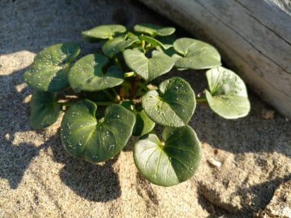 Convolvulus soldanella - Convolvulaceae