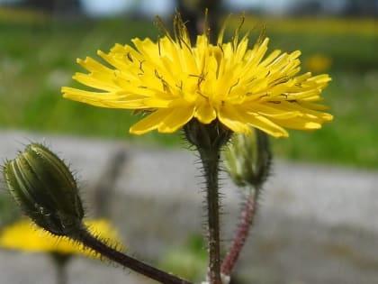 Crepis sancta - Asteraceae