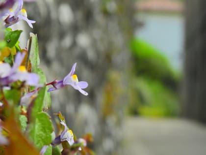 Cymbalaria muralis - Plantaginaceae
