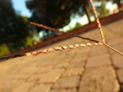 Cynodon dactylon - Poaceae