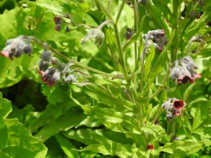 Cynoglossum officinale - Boraginaceae