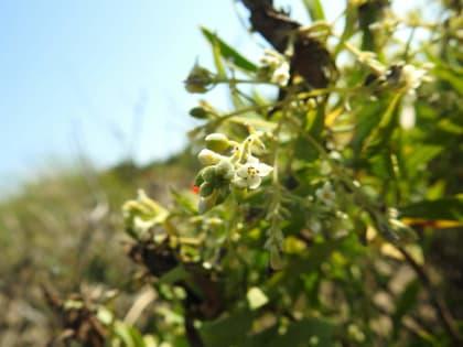 Daphne gnidium - Thymelaeaceae
