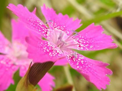 Dianthus deltoides - Caryophyllaceae