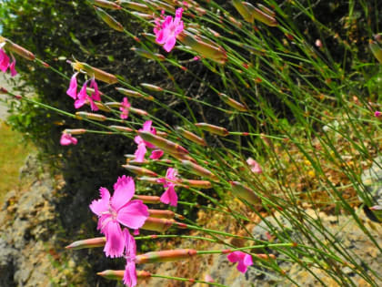 Dianthus sylvestris - Caryophyllaceae