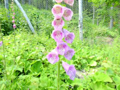 Digitalis purpurea - Plantaginaceae