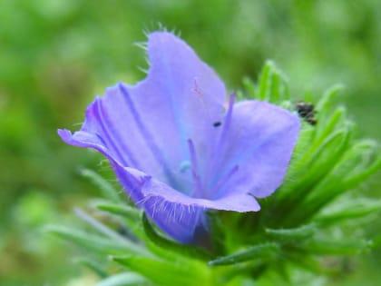 Echium plantagineum - Boraginaceae