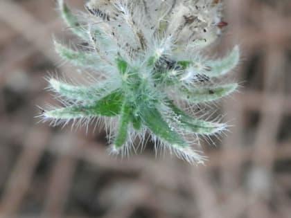Echium sabulicola - Boraginaceae
