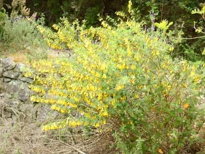 Emerus major - Fabaceae