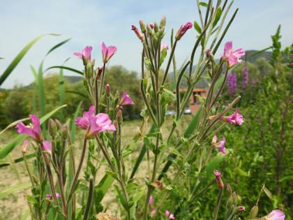 Epilobium hirsutum - Onagraceae