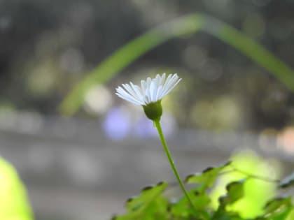 Erigeron karvinskianus - Asteraceae