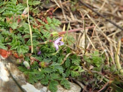 Erodium cicutarium - Geraniaceae