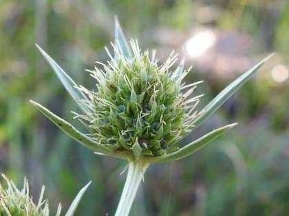 Eryngium campestre - Apiaceae
