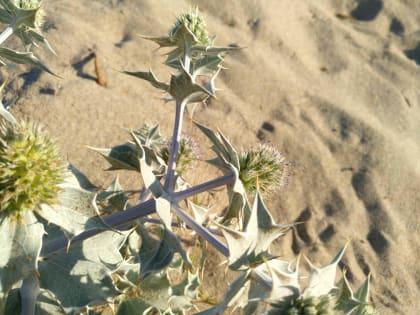 Eryngium maritimum - Apiaceae