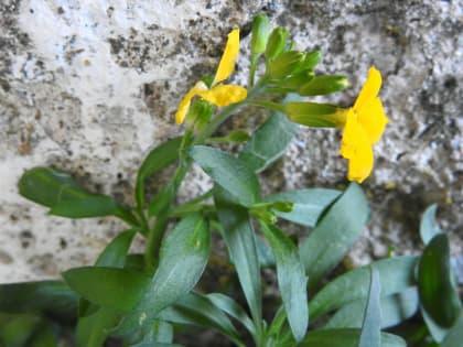 Erysimum cheiri - Brassicaceae