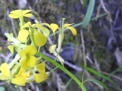 Erysimum pseudorhaeticum - Brassicaceae