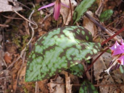 Erythronium dens-canis - Liliaceae