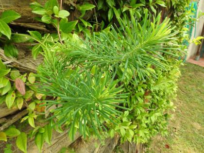 Euphorbia cyparissias - Euphorbiaceae
