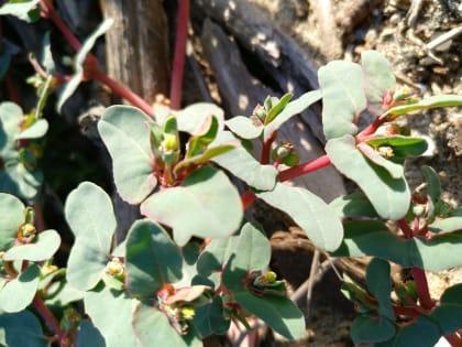 Euphorbia peplis - Euphorbiaceae