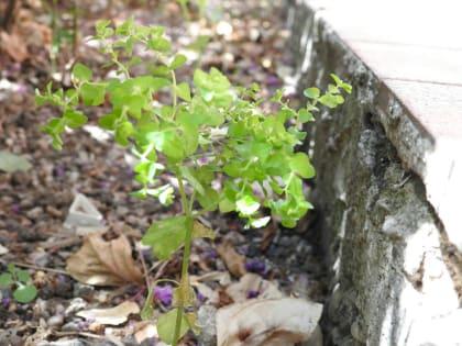 Euphorbia peplus - Euphorbiaceae