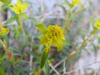 Euphorbia spinosa - Euphorbiaceae