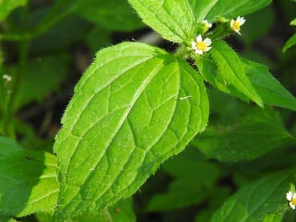 Galinsoga quadriradiata - Asteraceae