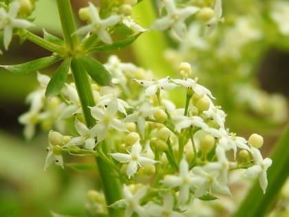 Galium album - Rubiaceae