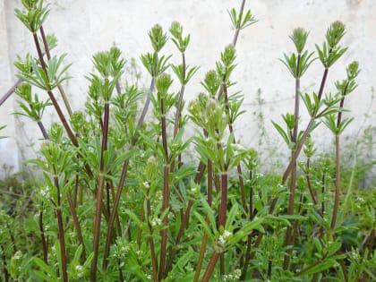 Galium aparine - Rubiaceae