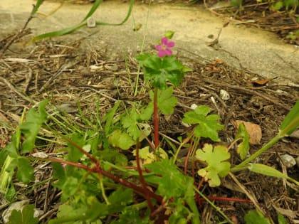 Geranium lucidum - Geraniaceae