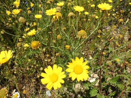 Glebionis coronaria - Asteraceae