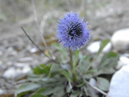 Globularia bisnagarica - Plantaginaceae