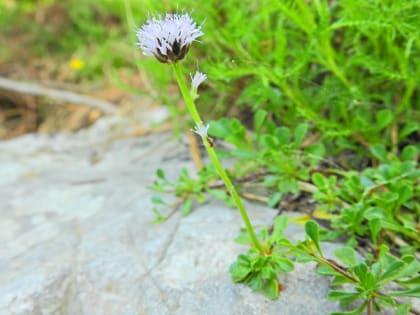 Globularia cordifolia - Plantaginaceae