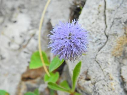 Globularia incanescens - Plantaginaceae