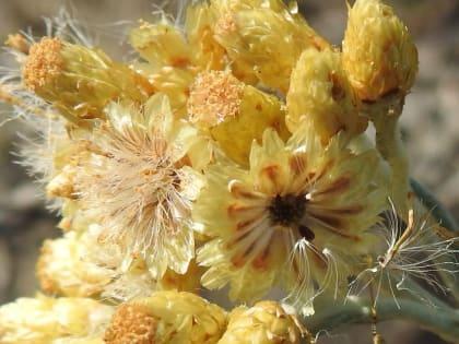 Helichrysum stoechas - Asteraceae