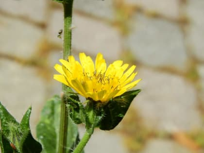 Helminthotheca echioides - Asteraceae