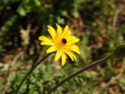 Hyoseris radiata - Asteraceae