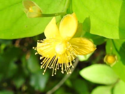 Hypericum androsaemum - Hypericaceae