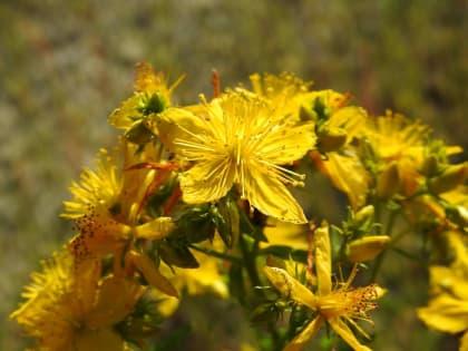 Hypericum perforatum - Hypericaceae