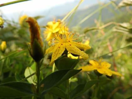 Hypericum richeri - Hypericaceae