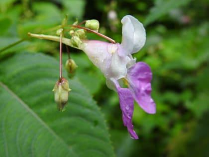 Impatiens balfourii - Balsaminaceae