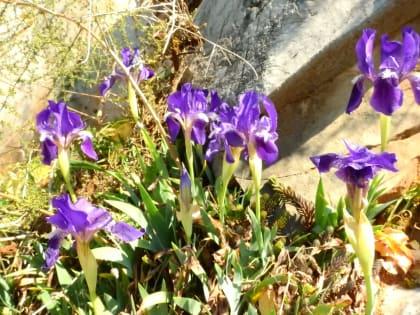 Iris lutescens - Iridaceae