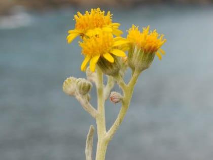 Jacobaea maritima - Asteraceae