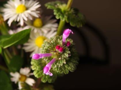 Lamium amplexicaule - Lamiaceae