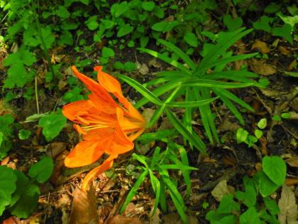 Lilium bulbiferum - Liliaceae