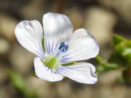 Linum usitatissimum - Linaceae