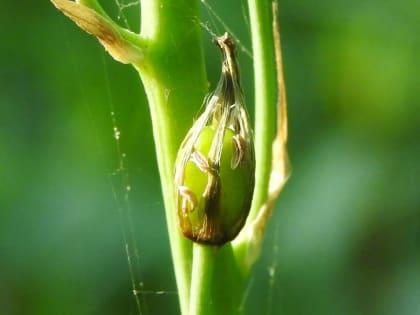 Loncomelos pyrenaicus - Asparagaceae